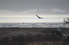 Northern Harrier (glenbodie) Tags: glen bodie glenbodie dncb dike 201350