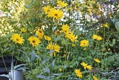 Rudbeckia Laciniata 24.09.2016 (tabbynera) Tags: rudbeckia