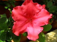 Azalea (Sasho Popov) Tags: plant flower azalea nature