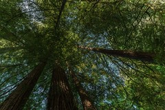 Jedediah Smith Redwoods State Park (Thaiexpat) Tags: tree outdoor redwoods jedediahsmithstatepark magestic tall green crescentcity oregoncoast