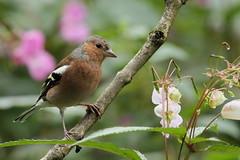 Male chaffinch (david.england18) Tags: malechaffinch chaffinch smallbirds various tits blue great coal queensparkheywood canon7d canonef300mmf4lisusm birdsuk