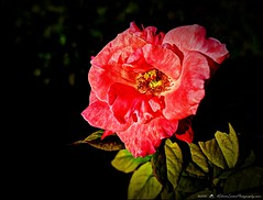 2016_09_24_P1280673_4_5_sureal 2 +shadows 10_High Society Rose,Clearwater,Fl. (robertlesterphotography) Tags: aroundthehouse clearwaterfl gf120 highsocietyrose macro photom rose sept242016