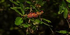 Acalypha capillipes (dustaway) Tags: euphorbiaceae acalyphacapillipes smallleafacalypha rotarypark rainforest lismore northernrivers northcoastbotanicalsubdivision nsw nature australia arfp nswrfp qrfp dryarf arfflowers redarfflowers rprr