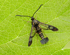 Currant Clearwing Synanthedon tipuliformis (Iain Leach) Tags: birdphotography wildlifephotography photograph image wildlife nature iainhleach wwwiainleachphotographycom canon canoncameras photography canon1dx canon5dmk3 beauty beautiful beautyinnature macro macrophotography closeup butterfly moth lepidoptera insect invertebrate outdoors conservation currantclearwing synanthedontipuliformis clearwing clearwingmoth