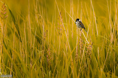 A birdy (Anneke Jager) Tags: annekejager birds bird outdoor animal grass field