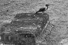 Hooded crow (michael_hamburg69) Tags: bergen norway hordaland norwegen norvge noreg norge kalfarveien cemetery grave headstone friedhof nebelkrhe krhe vogel rabenvogel bird corvuscorone hoodedcrow corvuscornix