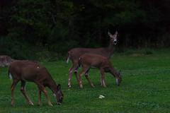 NightBrowse (jmishefske) Tags: d800e nikon whitetail halescorners wildlife wisconsin september park whitnall milwaukee doe deer 2016