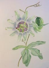 Passiflore (maitine) Tags: aquarelle passiflore watercolor passiflora