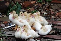 The scenery is dirty, but the litte ducks  are cute! (Arlete M) Tags: patos patinhos ducks littleducks piquetesp