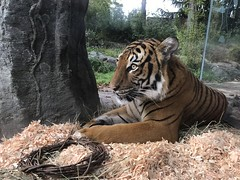 Malayan Tiger Yesterday (zenseas) Tags: tiger malayantiger pantheratigrisjacksoni pantheratigris wpz woodlandparkzoo seattle washington autumn fall feline bigcat iphone iphone7plus liem eko olan male boy bigboy brighteyed brighteyes morning