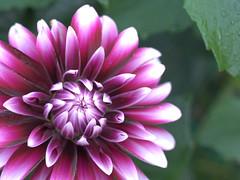 dahlia (upjohn_freak) Tags: fiore fleur closeup