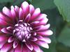 dahlia (upjohn_freak) Tags: fiore fleur closeup 花