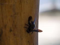 Title- , Caption- , File- 2013-01-19 14.07.06 Florianpolis 043.jpg (atramos) Tags: brazil mamangava insectinflight lightroom4 fieldunrated giantwildbee