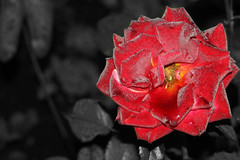 Rose (Tim G. Photography) Tags: flower recolor