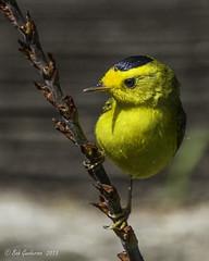 Wilson's Warbler (Bob Gunderson) Tags: sanfrancisco california birds northerncalifornia fortmason warblers wilsonswarbler woodwarblers cardellinapusilla