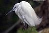 Egret (Ready for Strike)  123 copy (Teresa Mc Kenna) Tags: dublin white macro nature closeup photography nc flickr profile egret specanimal diamondclassphotographer flickrdiamond naturescarousel tessmckenna dublinzoo3