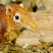 Black and Rufous Giant Elephant-Shrew WLD_4400