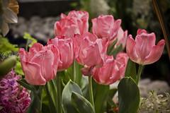 (A Great Capture) Tags: show pink flowers toronto ontario canada home garden march spring gardening springtime on canadablooms ald 2013 ash2276 ashleyduffus wwwashleysphotoscom