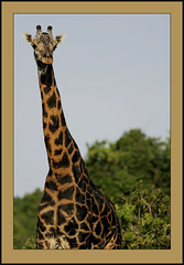 Tall, dark & handsome. (Rainbirder) Tags: giraffacamelopardalistippelskirchi giraffacamelopardalis masaigiraffe melanisticgiraffe giraffe rainbirder tsavowest kenya
