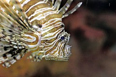 Lionfish (AndyM.) Tags: ohio fish water animal animals canon 50mm stripes cleveland stripe lion sealife fishes 60d colourartaward greaterclevelandaquarium