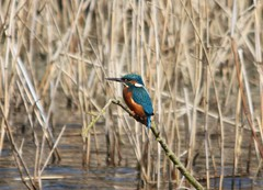 Kingfisher 1 (clairep46) Tags: bird canon eos kingfisher 500d rspb ryemeads