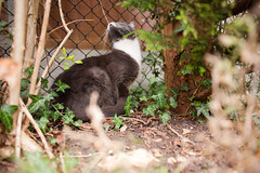 Forty Two / Year Two. (evilibby) Tags: trees plants green cat fence garden outside outdoors ivy whiskers greenery hemma project365 catniss