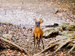 "Hirsch Berking Deer Muntiacus muntjak <a style=""margin-left:10px; font-size:0.8em;"" href=""http://www.flickr.com/photos/87204834@N03/8671582886/"" target=""_blank"">@flickr</a>"