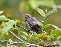Palm Tanager, very wet at Cuffie River, Tobago. (One more shot Rog) Tags: bird nature wet birds fauna wings rainforest wildlife birding flight wing feathers feather palm wash trinidad birders pouring tobago rains soaked tanager cuffie beaks palmtanager preens tanagers cuffieriver cuffierivernatureretreat
