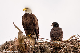 Bald Eagle and Eaglet
