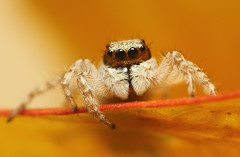 Jumping Spider (karthik Nature photography) Tags: macro nature animals closeup canon garden outdoors spider spiders wildlife web spiderweb insects jumpingspider macrophotography salticidae spiderworld gardenphotography insectphotography spiderphotography beautifulspiders jumpingspidersoftheworld beautifuljumpingspiders jumpingspidersofindia