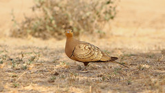 Sandgrouse (zahoor-salmi) Tags: camera pakistan macro nature birds animals canon lens photo tv google flickr natural action wildlife watch bbc punjab wwf salmi walpapers chanals discovry beutty bhalwal zahoorsalmi thewonderfulworldofbirds blinkagain