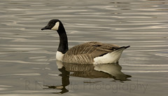 Canada Goose (richnorgate) Tags: digiscoping birdwatching britishwildlife canadagoose wildlifetrust gardenbirds egyptiangoose wildbirds birdphotography wildlifephotography blueeyedgoose britishwildlifetrust birdsofbritian nottinghamwildlife ukbirdwatching blueeyedgeese
