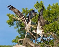 Ospreys & Prey (DMF Photography) Tags: fish nature birds inflight florida wildlife birding lakes if prey predator birdwatching raptors osprey birdsofprey nesting verobeach nests centralflorida flightshots bluecypresslake