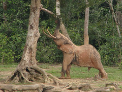 I... Want... That... Leaf!  Got It! (icajoleu) Tags: elephant centralafricanrepublic dzangabai dzangasangha