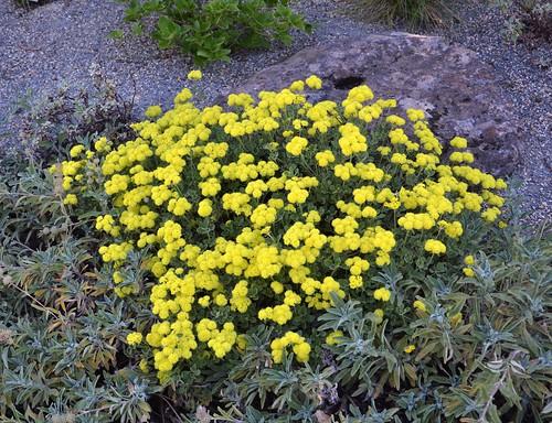 Eriogonum Umbellatum Shasta Sulfur