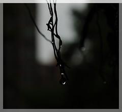 Aprs l'orage_Guangzhou (Stphanie Amaudruz) Tags: flowers nature rain fleurs drops spring pluie reflets printemps gouttes
