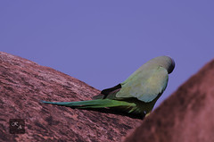 Parrot (Kumar Ashutosh) Tags: blue red flower green bird love nature beautiful birds animals stone wall architecture landscape evening fly leaf nikon time background parrot architects laves pegion d5100