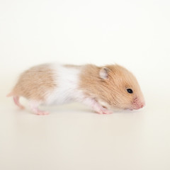 Loholts Neisti (astakatrin) Tags: baby white black cute yellow little dove background cream tortoiseshell honey tiny mink hamster shorthaired syrian banded hamsterbaby hamsterbabies umbrous