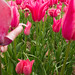 Burnside Tulip Farm 2013-7004.jpg