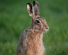 Brown hare  just after sunset Lepus europaeus (mikejrae) Tags: brownhare justaftersunsetlepuseuropaeus
