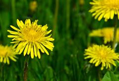 dandelion (chrisb.foto) Tags: flower spring blossom dandelion blume blüte frühling löwenzahn