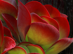 Crassula ovata of some form (Cactipal) Tags: some form crassula ovata cactipal