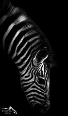 Zebra in the Dark ( Mathieu Pierre photography) Tags: portrait horse white black animal closeup mammal stripes ngc young npc zebra haag captive tierpark weiss schwarz chapmans tier equus chapman streifen foal babyanimal gestreift steppenzebra fohlen kleines jungtier sugetier linescurves junges equs burchelli zebrafohlen tierkind chapmanzebra muttertier motheranimal ewaldmario bestcapturesaoi blinkagain bestofblinkwinners blinksuperstars sunrays5 rubyinvite