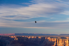 Soaring over the canyon (gorbould) Tags: sunset bird flying grandcanyon painteddesert southrim desertview roadtrip2013
