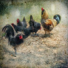 Rooster and Hens (Delany Dean) Tags: ie magicunicornverybest magicunicornmasterpiece
