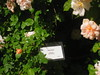 IMG_0550 (ceztom) Tags: city trip roses plant cemetery rose by garden square with native cemetary hamilton visit betty historic rivers april sacramento 20 davis speech 19 rosegarden cezanne perennials opengardens kathe cez 1000broadway april20 2013 930–200