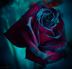 Romea (Veistim) Tags: flowers red roses plants plant flower nature rose dead death still bokeh withered marchito