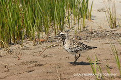 Black-bellied Plover (Ralf Nowak) Tags: