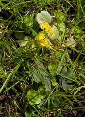 Opposite-leaved Golden-Saxifrage (ushishir) Tags: suttonpark