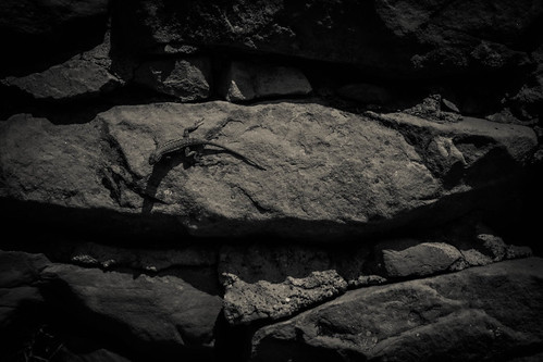 Portrait of Lizard on a Stone Wall (Black and White)